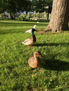 Mr. & Mrs. Duck